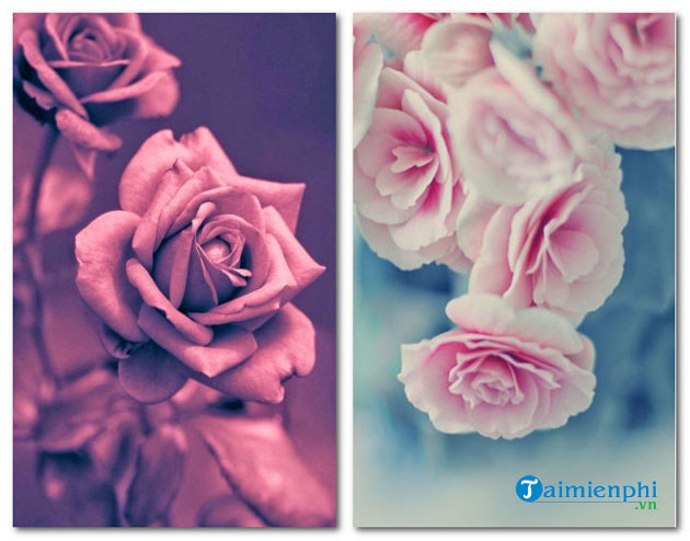 Beautiful Rose Flower Background For Flower
