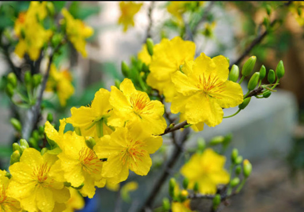 beautiful pictures of apricot flowers