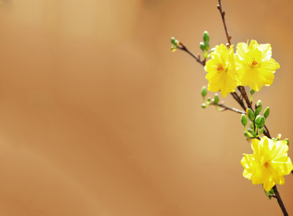 Photos of apricot flowers