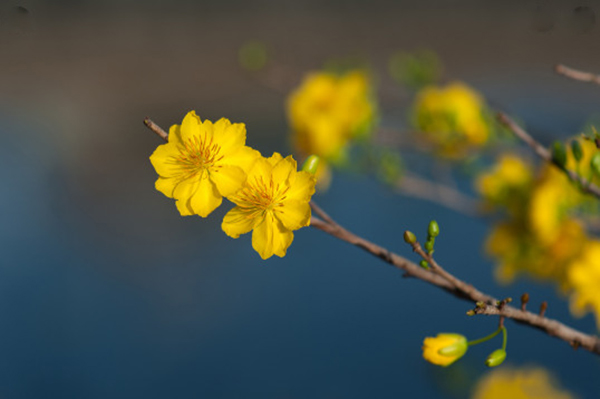 pictures of beautiful yellow apricot flowers